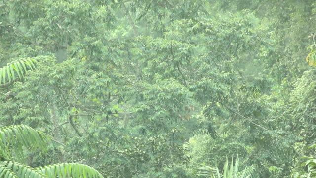 vídeos y material grabado en eventos de stock de ebony langur clambers around in tree tops then leaps away. - java