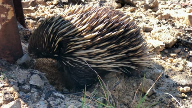 echidna or spiny anteater digging, after bush fire, blue mountains, australia - アリクイ点の映像素材/bロール
