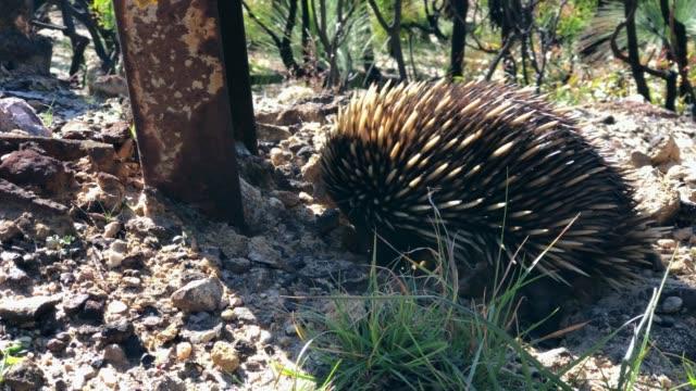 vidéos et rushes de echidna or spiny anteater digging, after bush fire, blue mountains, australia - digging