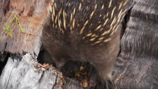 echidna - national park stock videos & royalty-free footage