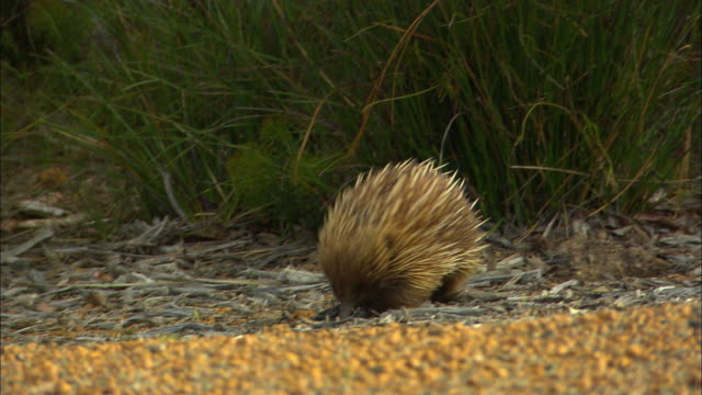 ms, pan, echidna (tachyglossus aculeatus) walking along gravel path, kingscote, kangaroo island, australia - bush stock videos & royalty-free footage
