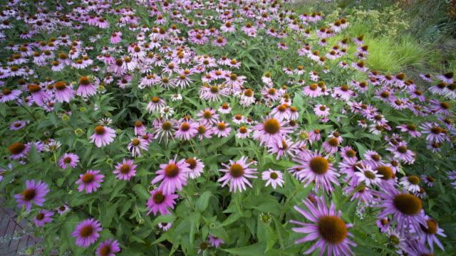 echinacea anguvstifolia. - sonnenhut stock-videos und b-roll-filmmaterial