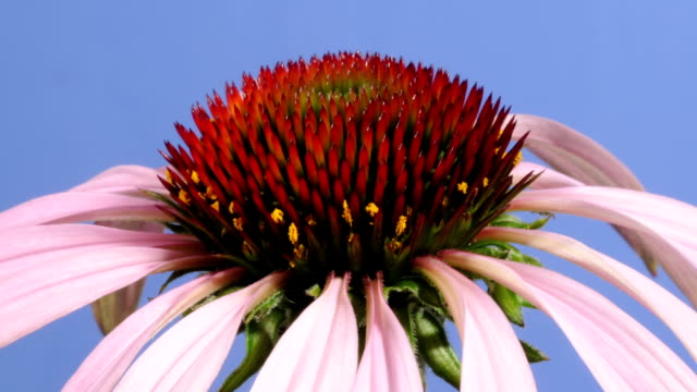 vidéos et rushes de echinacea flower, timelapse - number 9