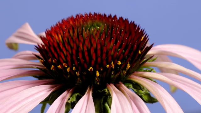 echinacea flower, timelapse - pollen stock videos & royalty-free footage