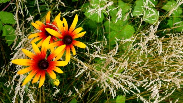 Echinacea bloemen.