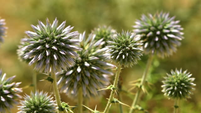 echinops bannaticus 'star frost' thistle - thistle stock videos & royalty-free footage