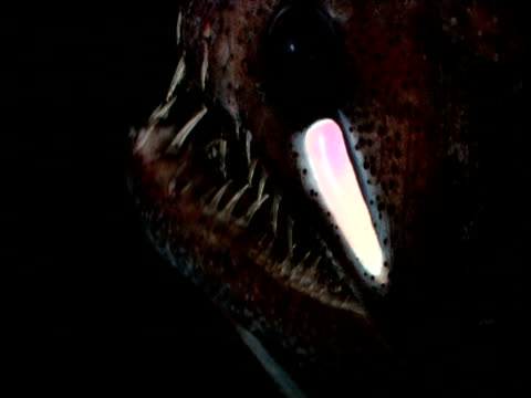 echiostoma with bioluminescent cheek photophore, opens and closes mouth, gulf of mexico - animal eye stock videos & royalty-free footage