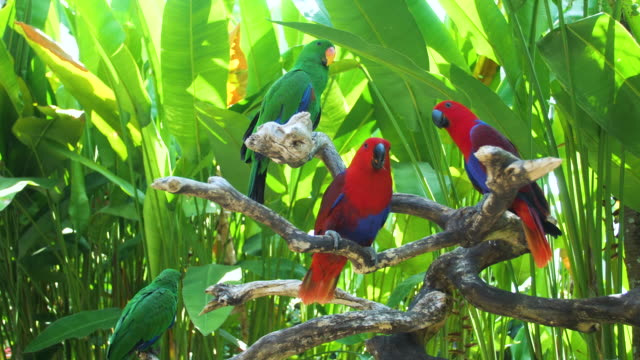eclectus parrot - zoo stock videos & royalty-free footage