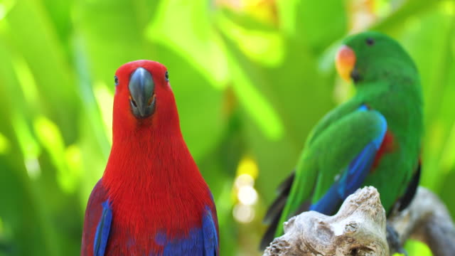 eclectus parrot - cute stock videos & royalty-free footage