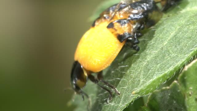 Eclosion Of Ladybug