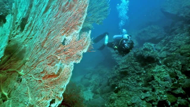 eco tourist woman scuba diver swimming near massive gorgonian sea fan coral - gorgonian coral stock videos & royalty-free footage