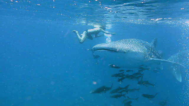 eco tourists swimming with endangered species whale shark (rhincodon typus) - iucn red list stock videos & royalty-free footage