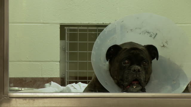 e-collar on boxer dog after surgery - boxer dog stock videos and b-roll footage