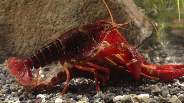 ecology of crayfish, procambarus (scapulicambarus) clarkii,  in the breeding season - flußkrebs tier stock-videos und b-roll-filmmaterial