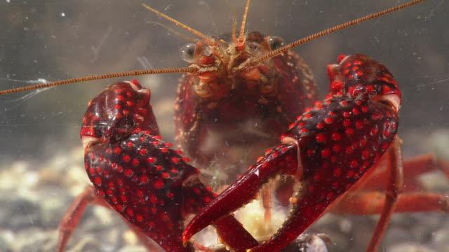 ecology of crayfish, procambarus (scapulicambarus) clarkii - flußkrebs tier stock-videos und b-roll-filmmaterial