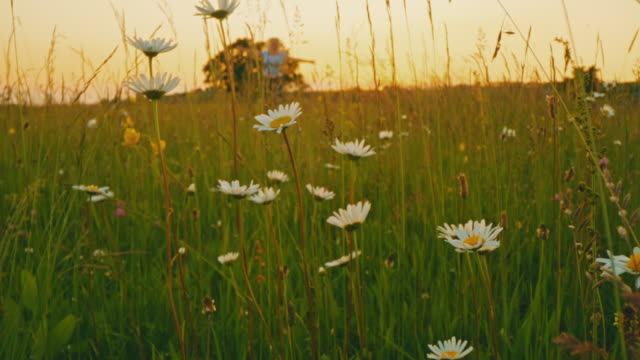 ds ecstatic woman running in a meadow full of daisies at sunset - wildflower stock videos & royalty-free footage