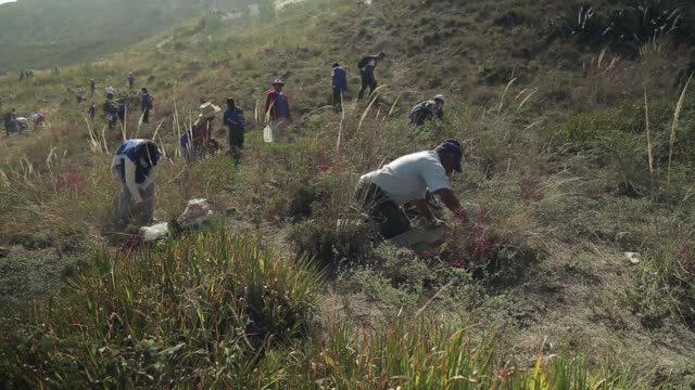ecuador broke the world record for reforestation saturday as thousands of people pitched in to plant 647250 trees in a single day president rafael... - reforestation stock videos and b-roll footage