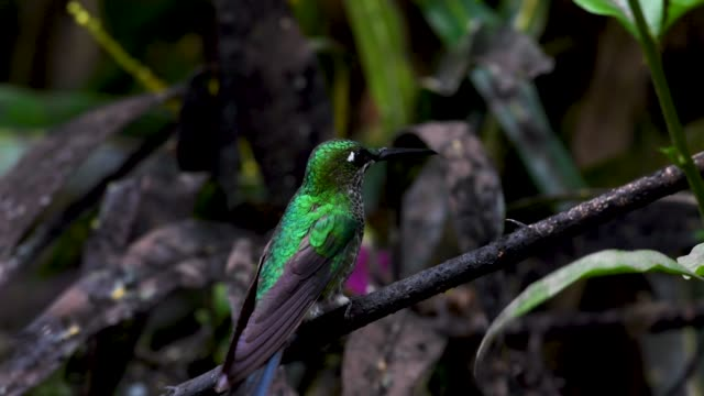 ecuador hummingbirds- green-crowned brilliant - ecuador stock videos & royalty-free footage