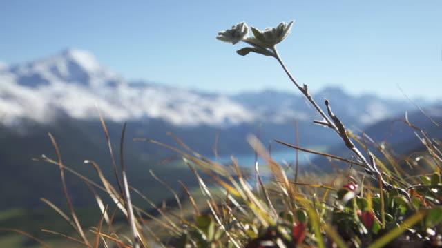 vidéos et rushes de edelweiss - alpes suisses