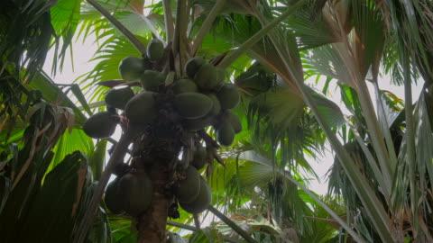 "edemic species coconut named "" coco de mer "" ( lodoicea , sea coconut , lodoicea maldivica ) an tropical palm tree in nature reserve vallee de mai, seychelles, praslin - plant stem stock videos & royalty-free footage"