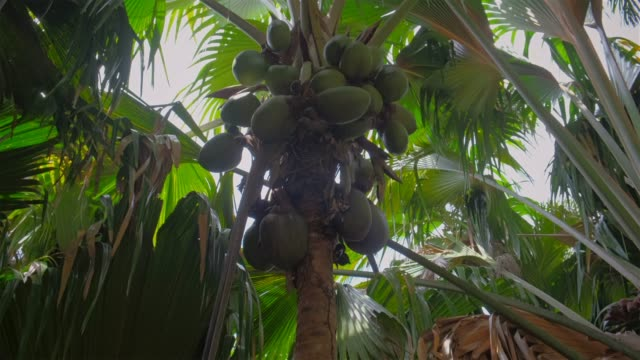 edemic 種ココナッツという「ココデ mer」(lodoicea、海、ココナッツ、lodoicea maldivica) 自然保護区アンス、セイシェル、プラランの熱帯のヤシの木 - 茎点の映像素材/bロール