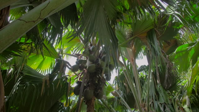 "edemic species coconut named "" coco de mer "" ( lodoicea , sea coconut , lodoicea maldivica ) an tropical palm tree in nature reserve vallee de mai, seychelles, praslin - coconut palm tree stock videos & royalty-free footage"