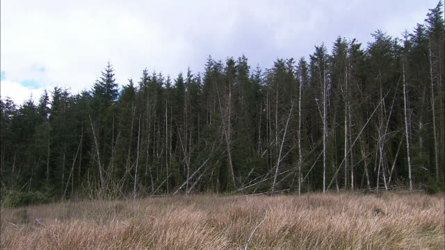 edge of fir tree (abies sp.) forest, northern ireland - fallen tree stock videos and b-roll footage