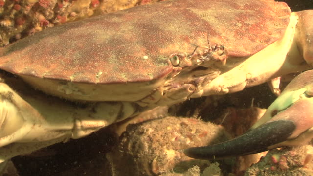 edible crab(cancer pargurus) cu, guernsey, english channel, uk   - british culture stock videos & royalty-free footage
