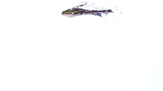 vídeos y material grabado en eventos de stock de edible frog rana esculenta swimming, slow motion - rana