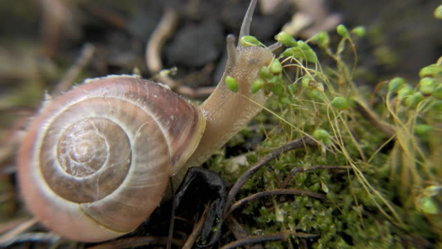 vídeos de stock, filmes e b-roll de cu edible snail (helix pomatia) moving slowly on ground, new york city, new york, usa - caracol