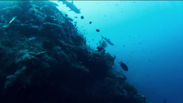 eerie and dramatic shot of silhouetted sharks swimming close to a bank of coral - weißspitzen hochseehai stock-videos und b-roll-filmmaterial