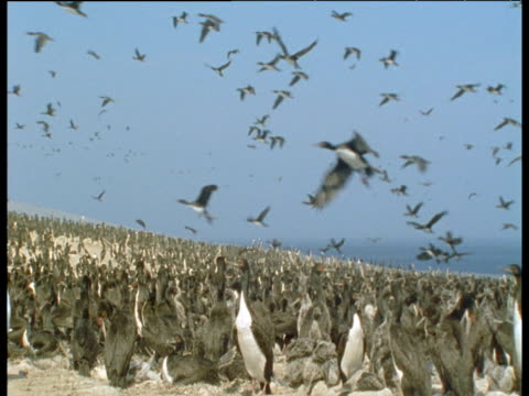 effects of el nino, crowded cormorant colony to empty beach - comportamento animale video stock e b–roll