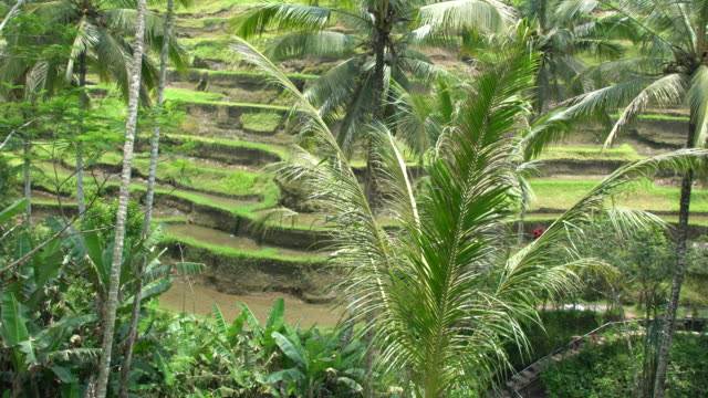 egallalang, the most famous rice field terrace of bali, indonesia - campuhan stock videos & royalty-free footage