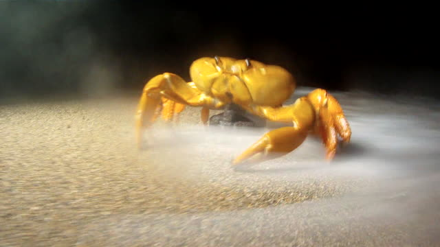 egg carrying land crab enters sea, ascension island - crab stock videos & royalty-free footage