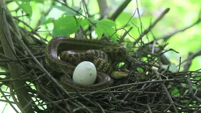 vídeos y material grabado en eventos de stock de egg of oriental turtle dove and steppe ratsnake - rodear