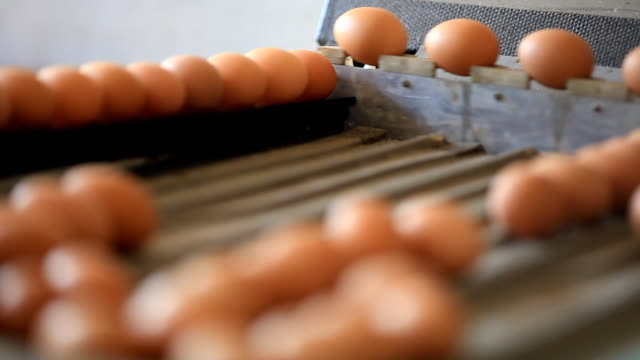Egg production line in the chicken farm