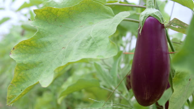 eggplant grows in greenhouse - aubergine stock videos & royalty-free footage