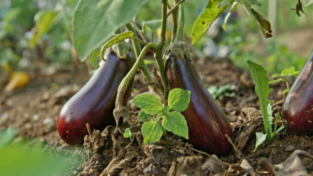 vidéos et rushes de aubergines td dans le jardin - jardin potager