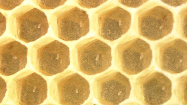 Eggs Of Honey Bee Within Cells