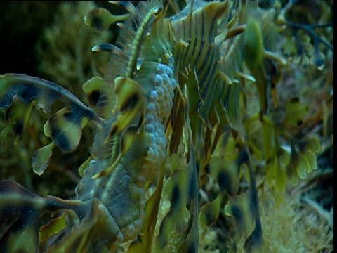 stockvideo's en b-roll-footage met eggs of leafy sea dragon carried on brood patch on tail, kangaroo island, tasmania - zeepaardje
