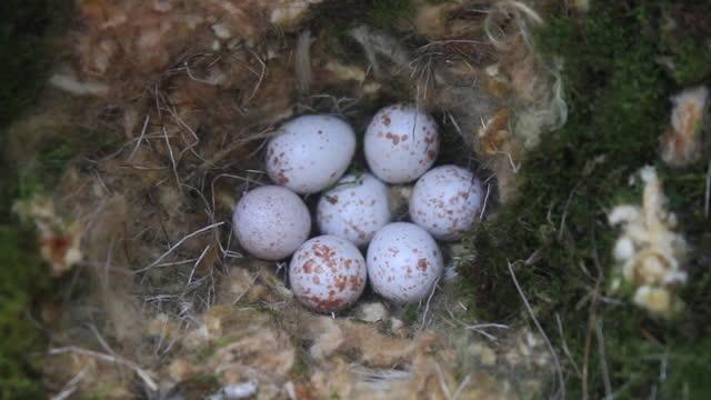 eggs of parus varius (varied tit) - number 7 stock videos & royalty-free footage