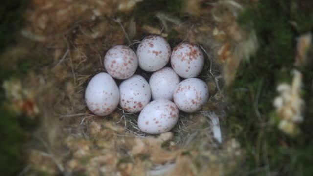 eggs of parus varius (varied tit) - number 8 stock videos & royalty-free footage