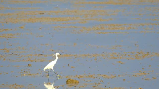 vídeos de stock, filmes e b-roll de pássaro do egret - israel