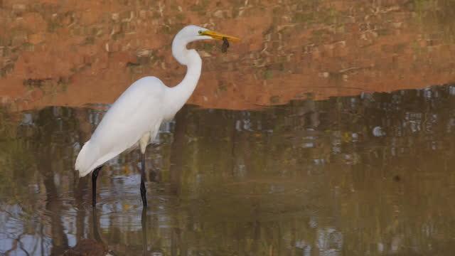 egret biting prey / india - egret stock videos & royalty-free footage