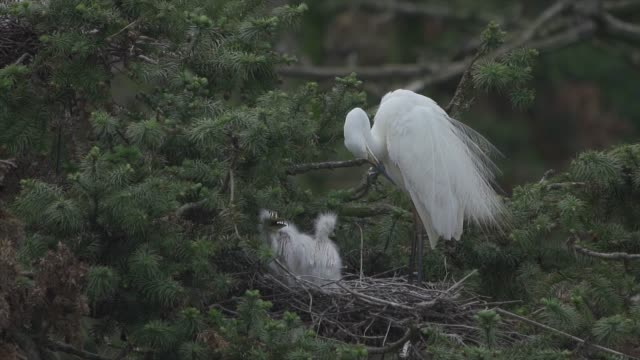 egret breeds the next generation on the tree - egret stock videos & royalty-free footage