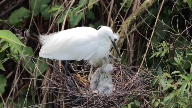 vídeos y material grabado en eventos de stock de egret bring up its young chicks - boca de animal