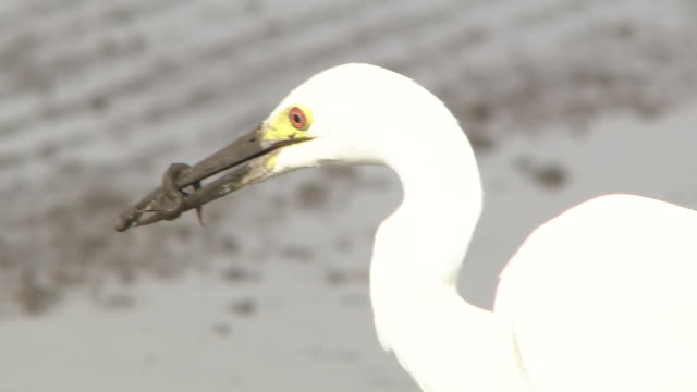 egret capturing weatherfish - egret stock videos and b-roll footage