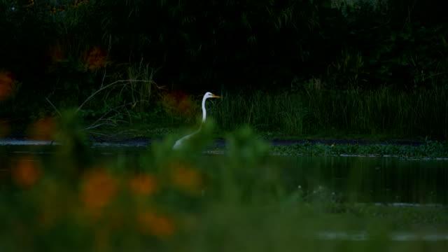 egret - reihergattung egretta stock-videos und b-roll-filmmaterial