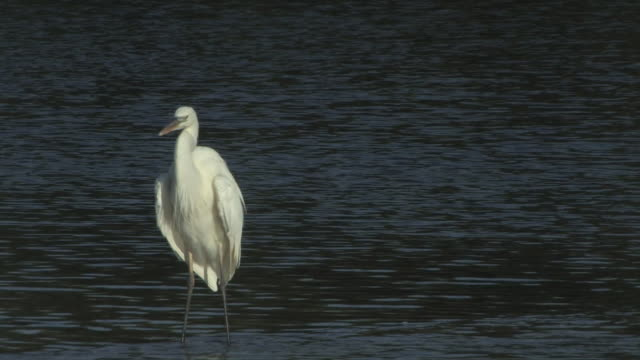 egret drying wings 5 - hd 30f - named wilderness area stock videos & royalty-free footage