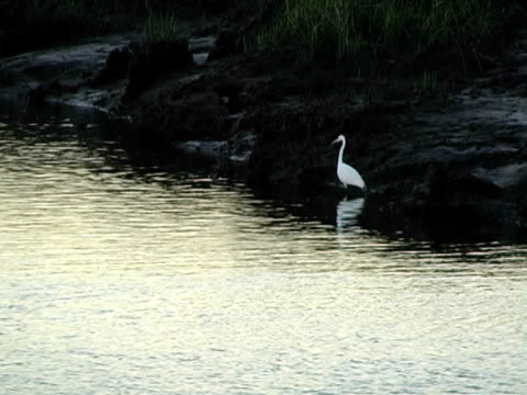 stockvideo's en b-roll-footage met egret in flight - koet
